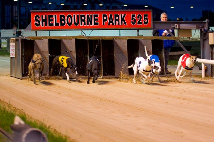 A Greyhound Race Just Starting