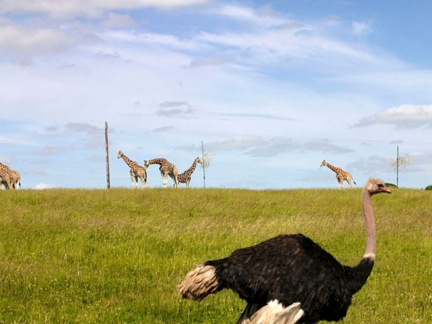 Ostrich and Giraffes sharing large fields