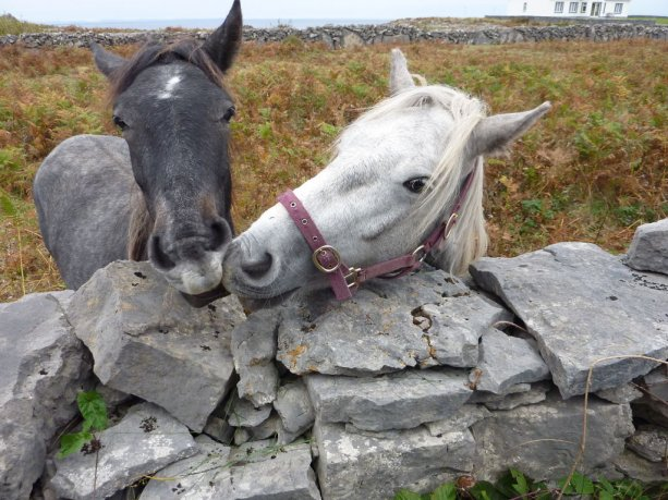 The Aran Islands feature a variety of wild and domesticated animals