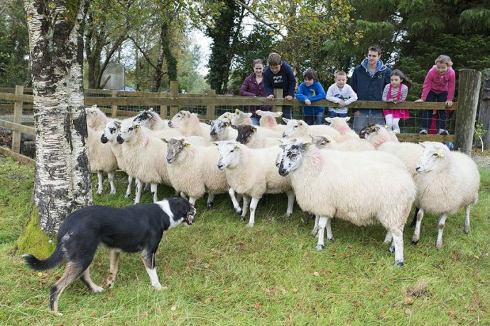 Sheep Herding Demonstration With a Dog at Glengowla Farm and Mines