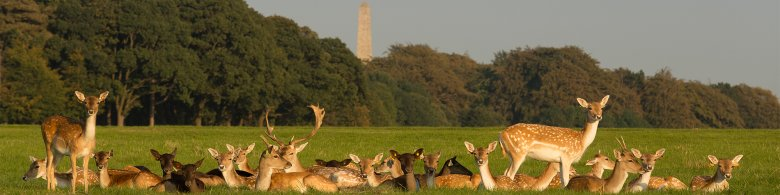 Group of Deer in Pheonix Park Dublin