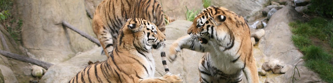 Tigers playing - 5 Things to Know About Dublin Zoo